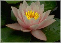 lotus_small.jpg